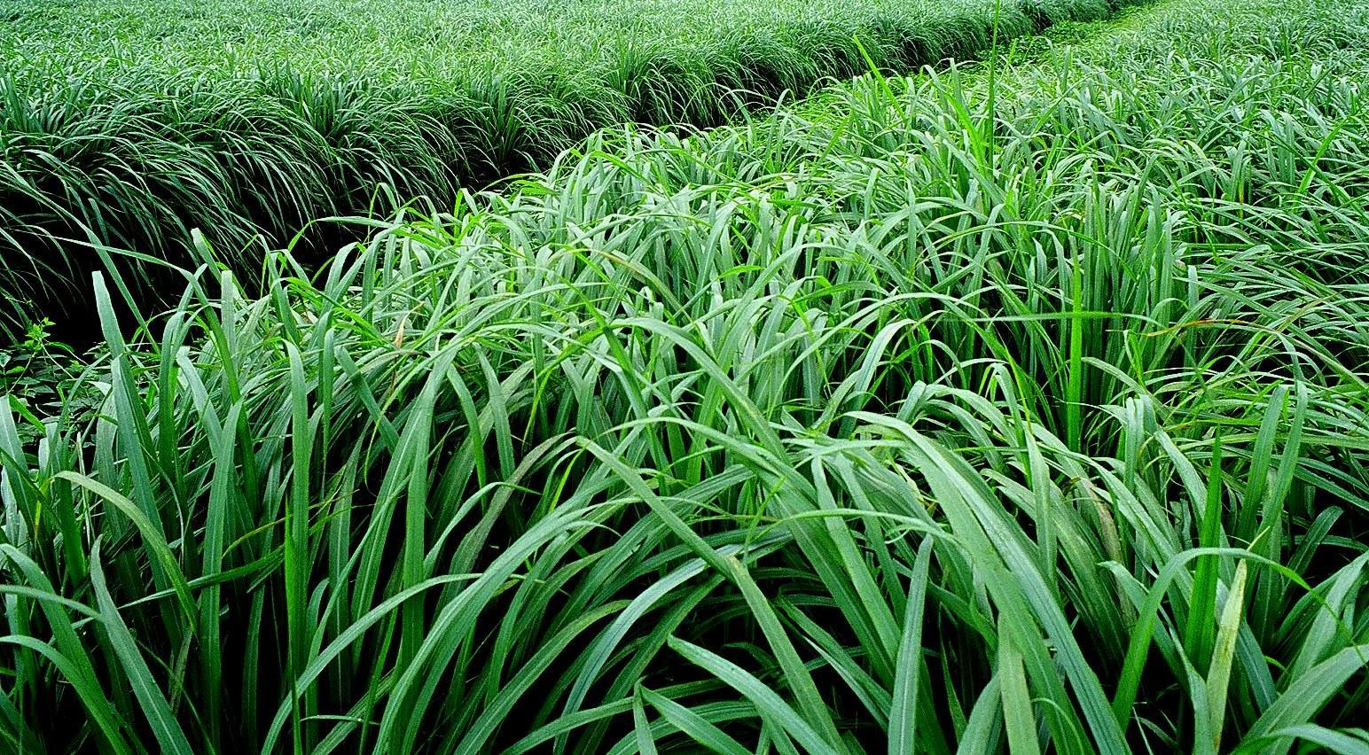 Hạt cỏ MOMBASA GHINE - CỎ SẢ LÁ LỚN 500G