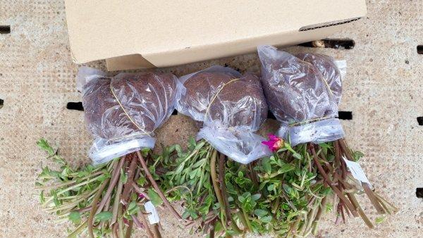 Mua Hoa 10 giờ Sam Thái giá rẽ chỉ 26k,1 bó 40 cây