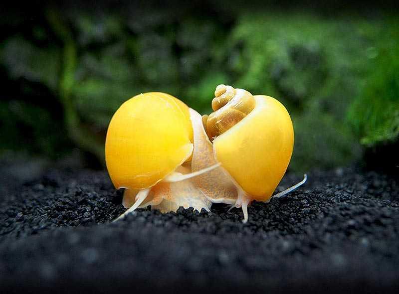 1 Ốc táo vàng chuyên gia vệ sinh hồ | Hingaostore.