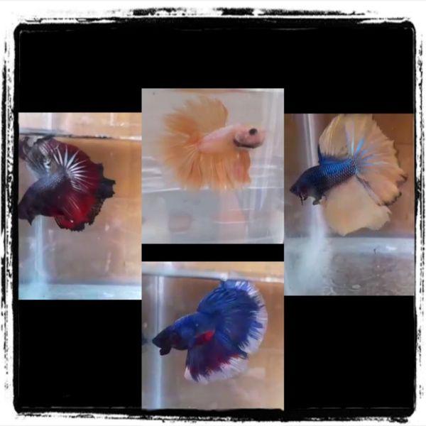 Combo cá Betta màu đẹp, thức ăn và keo nuôi.chọn màu thì nhắn tin riêng