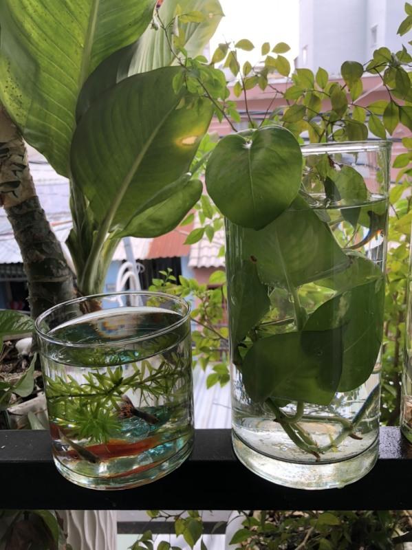 Bình thủy tinh nuôi cá để bàn, Hồ cá thủy tinh mini,Bình thủy tinh trồng cây thủy sinh mẫu Ống 10*10