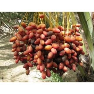Gói 10 hạt giống cây chà là Thái Lan thumbnail