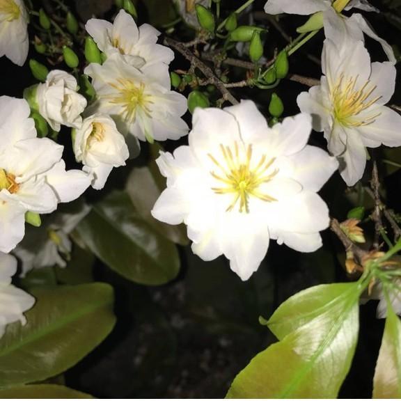 Hoa Bạch Mai.