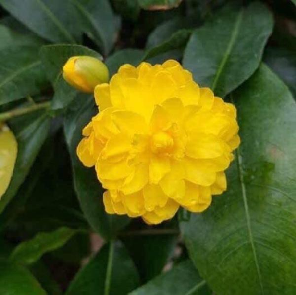 Hoa cúc mai 150 cánh