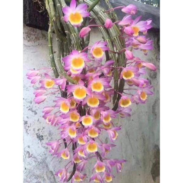 1 bảng(1 chậu) lan long tu đá hoa tím hàng rừng thuần chậu siêu to, hoa siêu đẹp