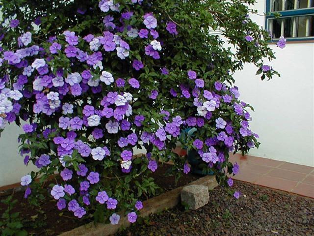 hoa nhài nhật tím đổi màu, cây giống gửi đi nguyên bầu
