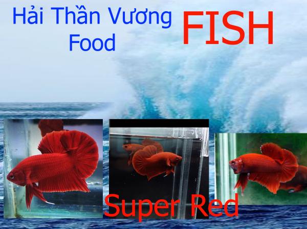Trang trí bể cá - Betta Super Red (Cá Lia thia Super Red) Trống