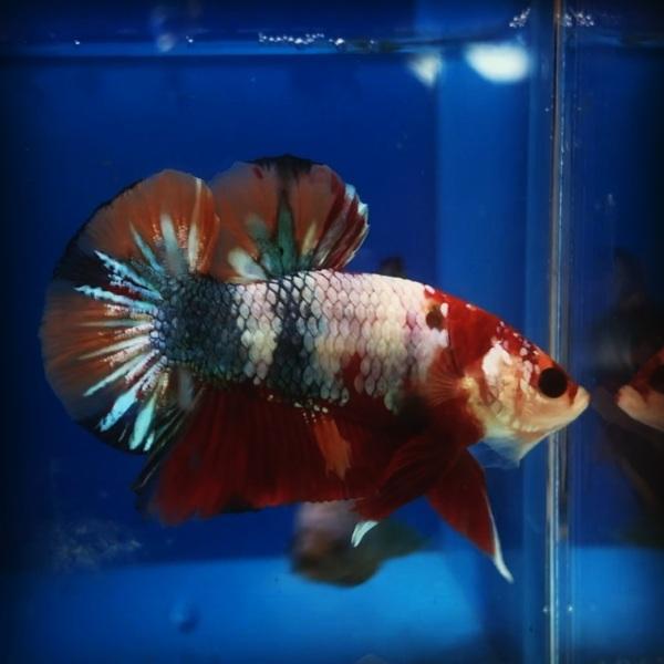 Betta Coi Nemo Glx ( trống )