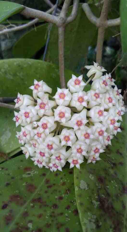 Combo 5 cây giống lan cẩm cù sai hoa đủ màu