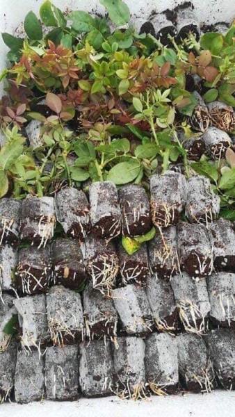 Combo 5 cây hoa hồng tỉ muội siêu bông (giâm cành, rễ bầu, thân dài 15cm, cây khỏe) - mua 5 tặng 1