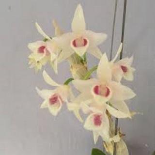 Hoa phong lan trầm trắng mắt đỏ (cây cao 20cm, bộ rễ khỏe) thumbnail