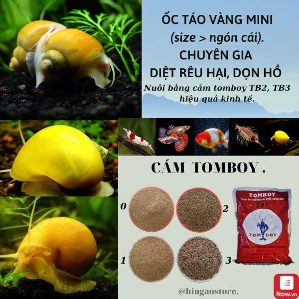 Ốc Táo Mini Trang Trí Hồ Cá (có thể dùng cám tomboy làm thức ăn). - Phụ kiện cá cảnh   Hingaostore.