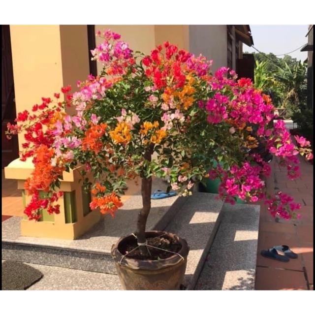 Cây hoa giấy ngũ sắc (gửi cây như hình 6)