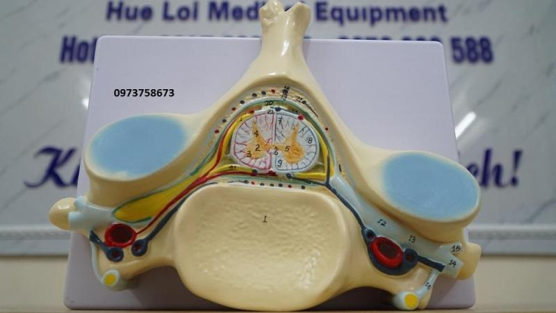 Mô hình giải phẫu đốt sống và tủy sống mặt cắt ngang