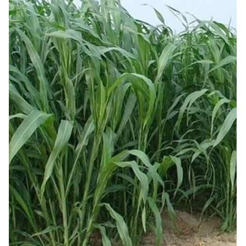 Hạt giống cỏ chăn nuôi-cỏ Lai SWEET JUMBO 1kg