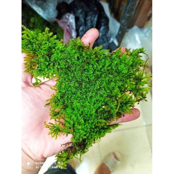 1 Hộp 2 tấc Rêu Weeping gắn lũa thủy sinh