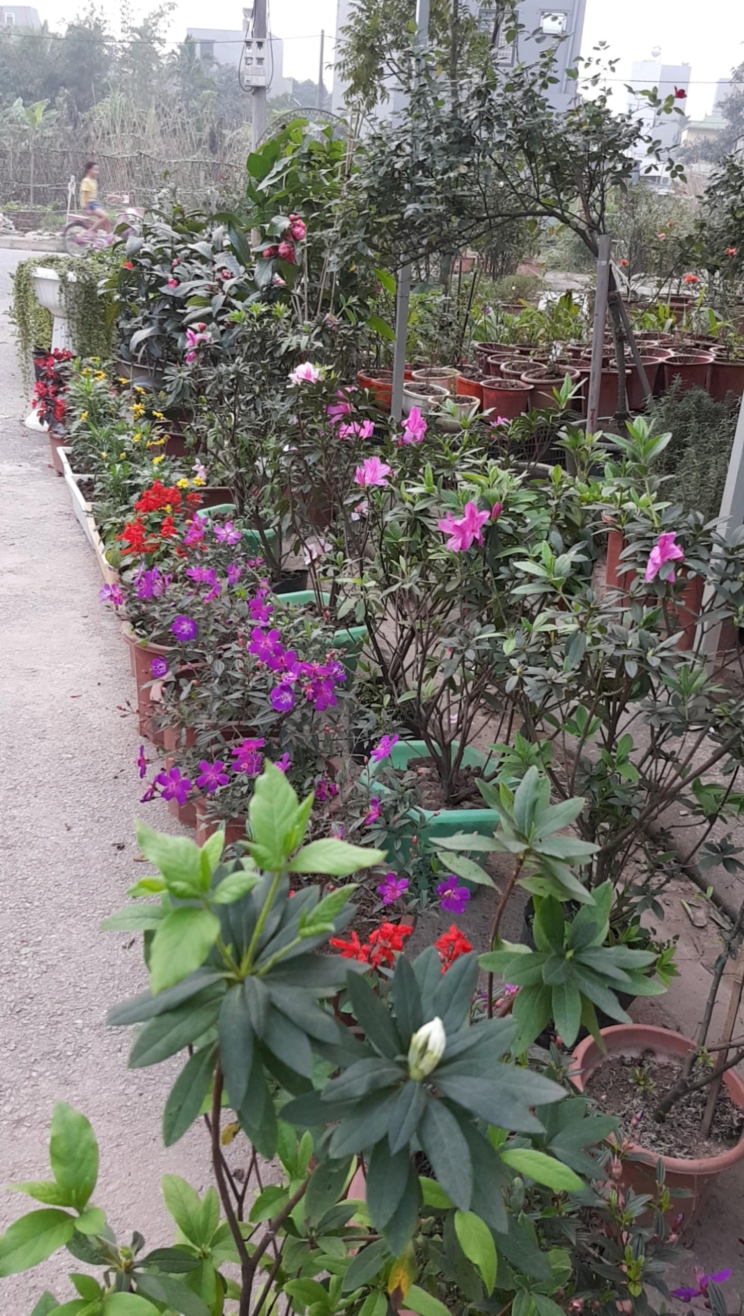 Cung cấp chậu hoa sim tím siêu đẹp siêu bền