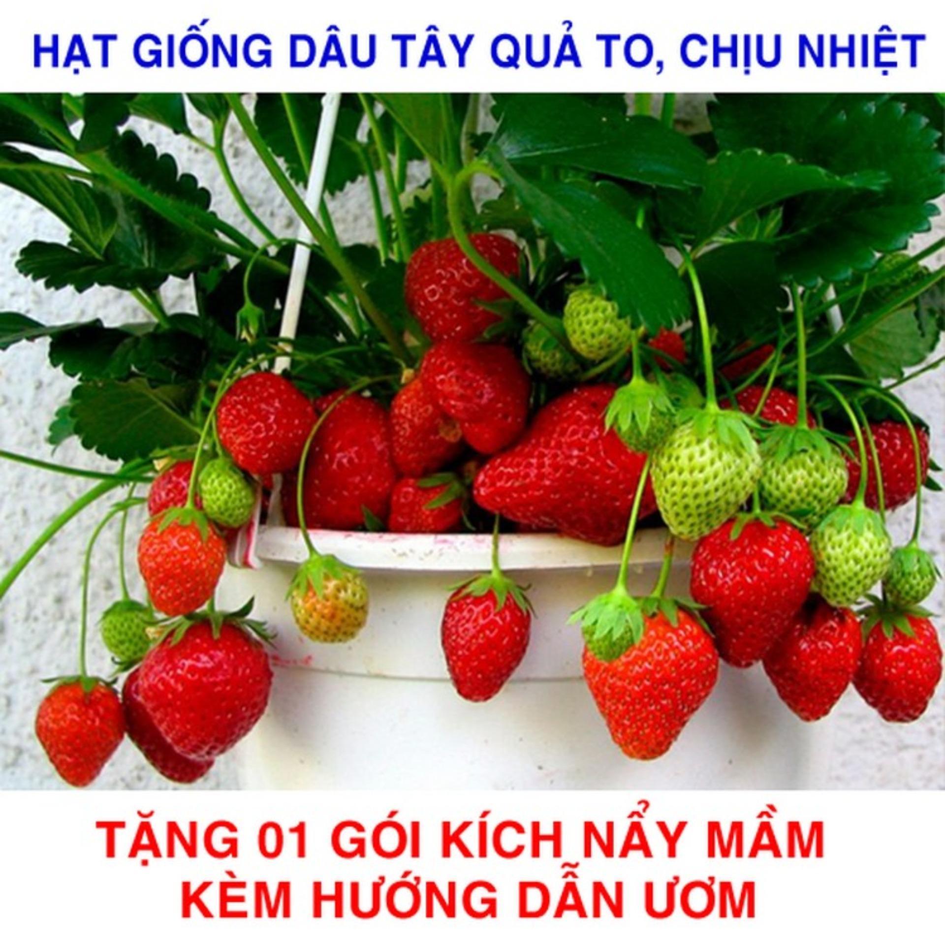Gói 100 Hạt giống Dâu Tây đỏ Quả To, Chịu Nhiệt (tặng gói kích nẩy mầm và hướng dẫn)