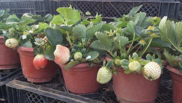 6 Cây giống dâu tây sai quả chịu nhiệt trồng 2 tháng cho hoa
