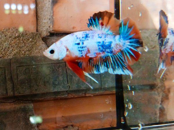 Betta trống 3,5 tháng đẹp, bơi lanh, sạch bệnh, shop đảm bảo cá đẹp như hình