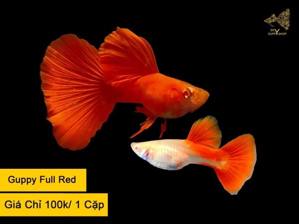Cá 7 Màu - Guppy Full Red