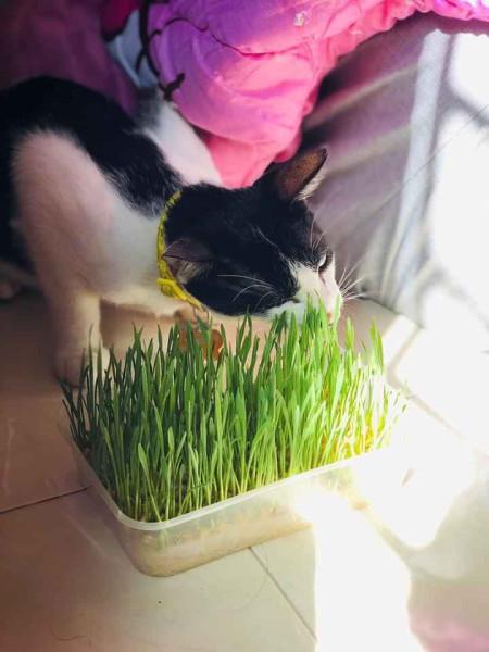 Giống cỏ cho mèo