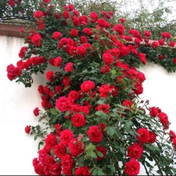 Hoa hồng leo ngoại 120k/10 cây đủ màu