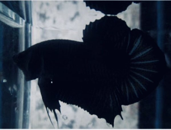 BETTA SUPER BLACK ( trống)