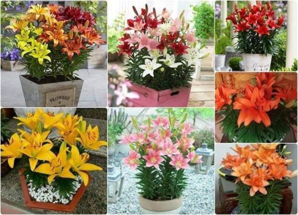 10 củ giống hoa ly cao thơm nhiều màu trồng tết