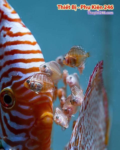 CAROPHYLL Kích lên màu đẹp cho cá ( An toàn và nhiều lợi ích) Gói 5 Gram
