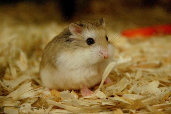 Mùn gỗ thơm lót chuồng cho Hamster, bọ ú, nhím, ...