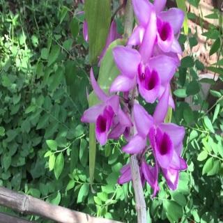 Hoa lan phi điệp-tím yên tử(cao 30cm ,trồng thuần ấm chậu) thumbnail