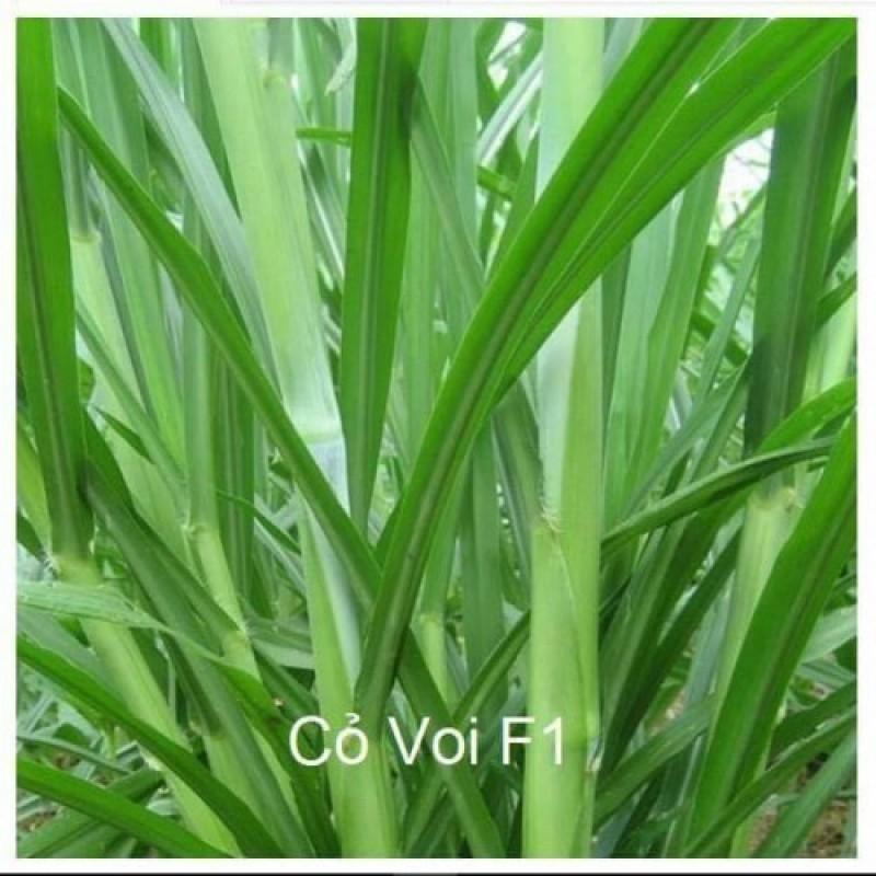 Hạt giống cỏ VOI LAI- cỏ chăn nuôi gói 500g