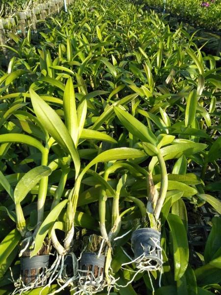 Combo 5 cây lan Dendro đang ra ngồng, hoa đẹp, cây dễ trồng
