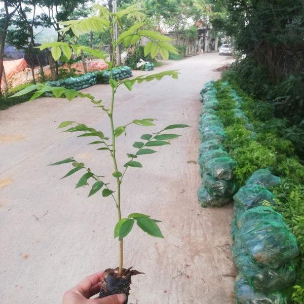 Combo 10 cây giống sưa đỏ