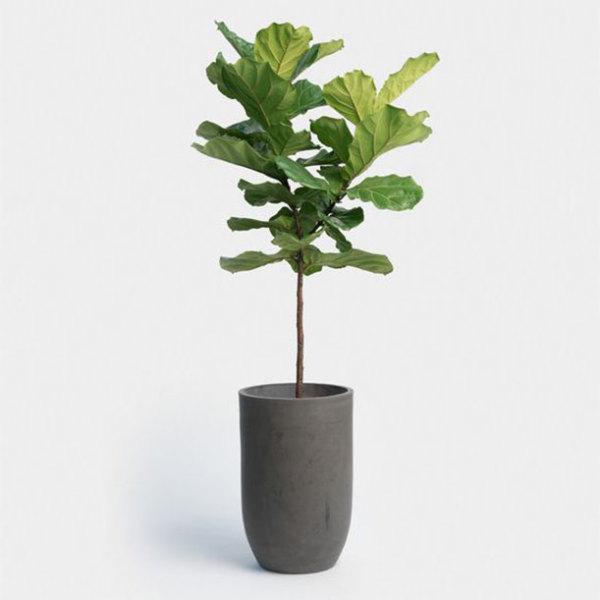 giá gốc - CÂY BÀNG SINGAPORE cỡ lớn - SINGAPORE ALMOND TREE