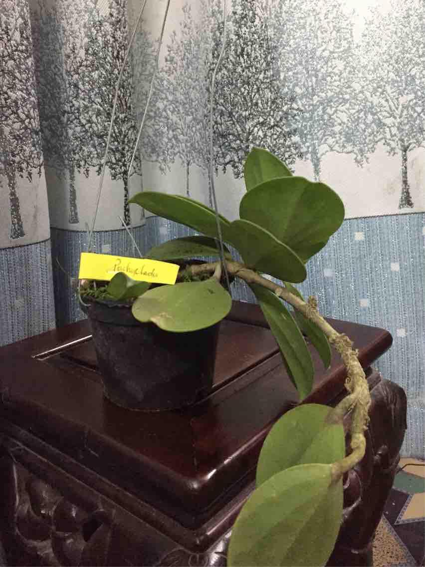 Combo 10 cây giống lan cẩm cù đủ màu