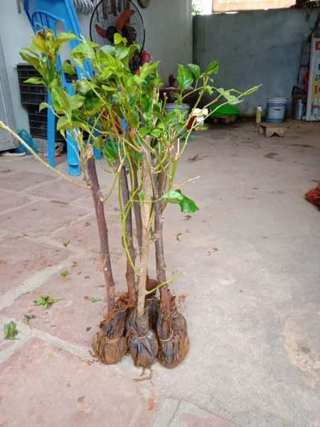 4 CÂY HOA GIẤY NGŨ SẮC ( cây giống)( gửi cây như hình 2)