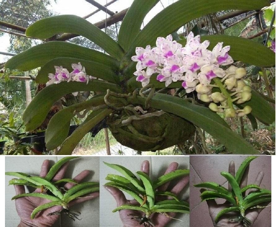 2 Cây giống hoa lan đai trâu rừng - cây con tuyển chọn khỏe đẹp