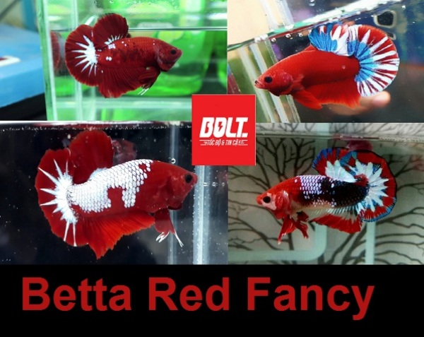 Betta Red Fancy - Thức ăn - Phụ kiện