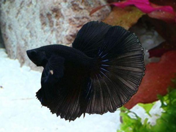 Thức ăn - Phụ kiện Hafmoon đen Super black Betta Siêu đẹp Thái - CHerry Betta Shop
