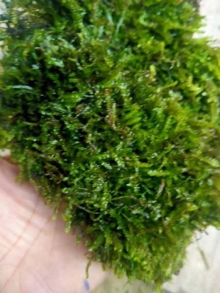 Rêu thủy sinh: Weeping lá nước gắn lũa (tấc 10x10) Wepping lá nước như ảnh.