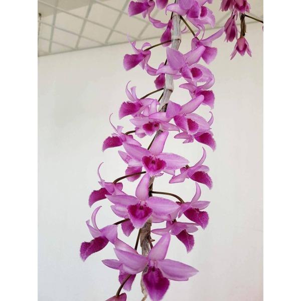 hoa phong lan- châu như lưỡi bệt năm 3 - cnlbn3