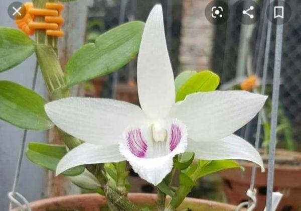 hoa lan 5ct tien sa - 5ctts