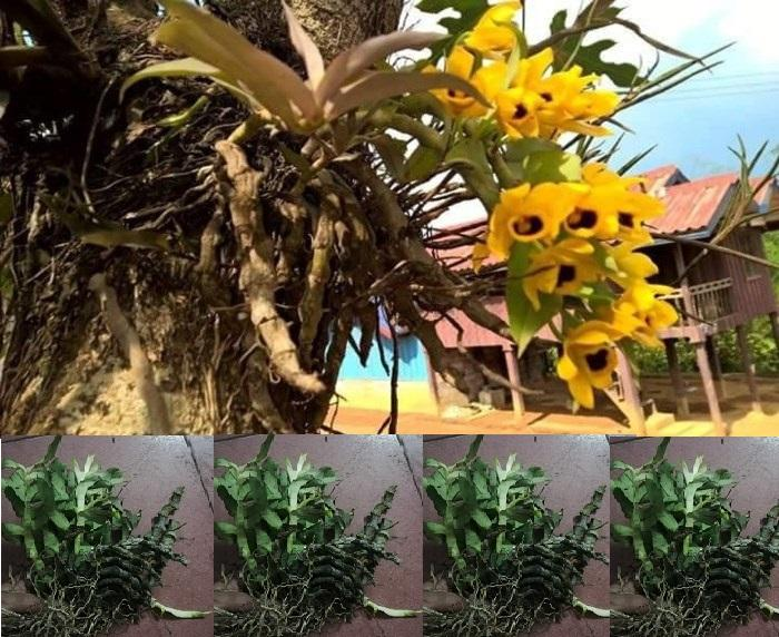 Cây hoa phong lan rừng trầm vàng - loại phong lan rừng quý hoa vàng rực rỡ