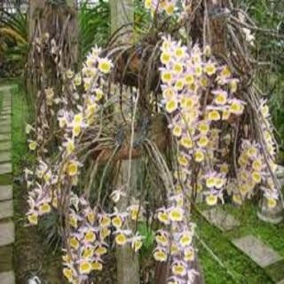 Hoa phong lan-long tu lào( bảng 3 cây,cao 30cm) thumbnail
