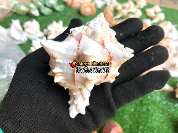 [9cm, XL, 2XL] Quà tặng từ Biển - Vỏ Ốc Gai Hồng - Vỏ Ốc Trang Trí  Vỏ Ốc Mượn Hồn - Vỏ Ốc Biển Tự Nhiên