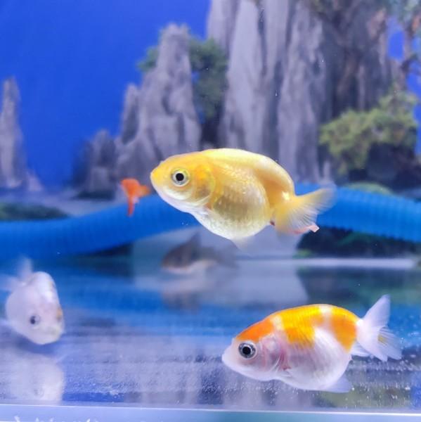 Cá vàng Ranchu siêu đáng yêu