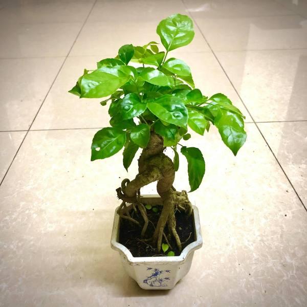 Cây hạnh phúc  Bonsai cao 25-30 cm -  Không giao được 19 tỉnh Miền Nam