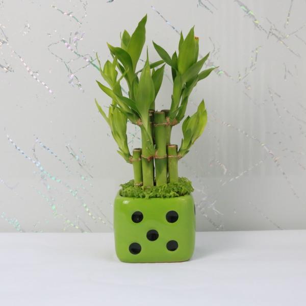Cây Phát Tài, Phát Tài Trúc Mini Để Bàn, Cao 25 đến 30cm Chậu Như Hình| Hoàng Trâm Green Globe